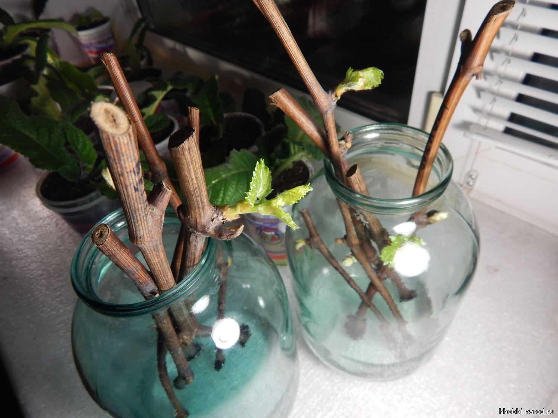 Черенки жимолости - размножение Сайт о саде, даче и комнатных растениях 62