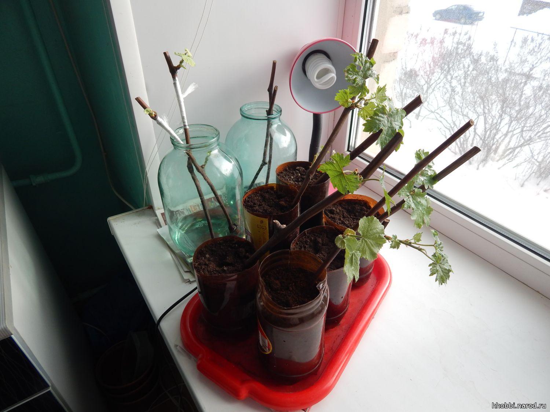 Черенки жимолости - размножение Сайт о саде, даче и комнатных растениях 26